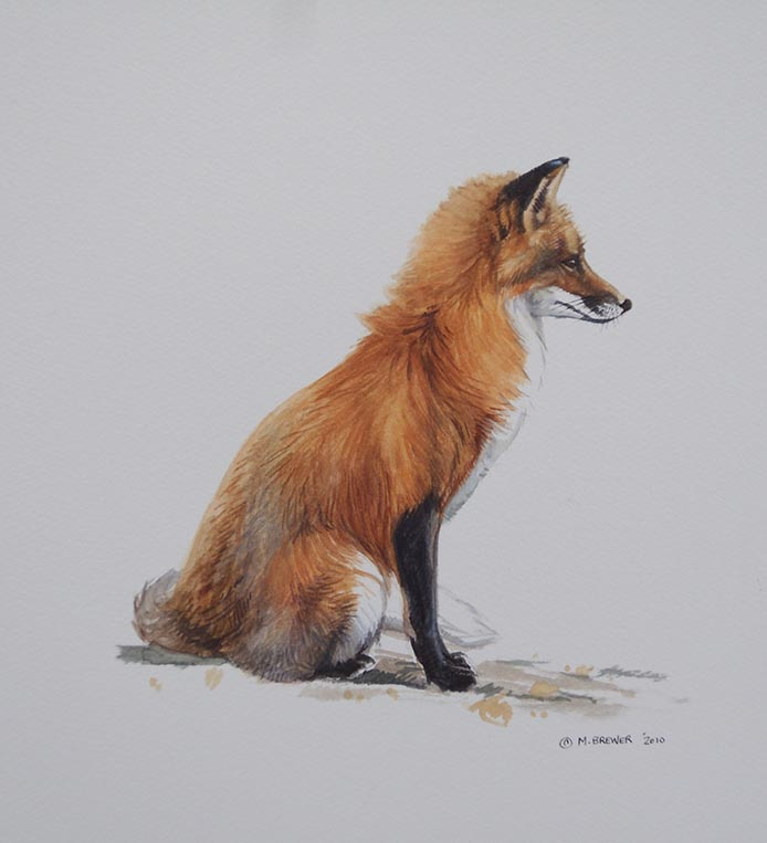 Red Fox seated